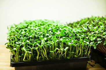 The need for microgreens in your diet ……….