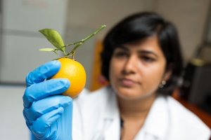 UF/IFAS Scientist Research Citrus Fruit Drop